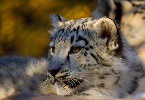 Cougar  Wikipedia